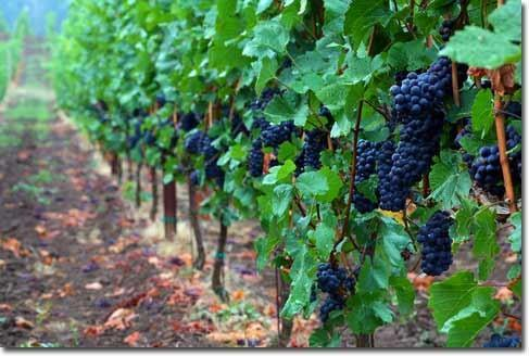 Pinot Noire